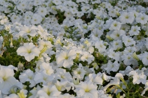 Flowerbed in Safa Park, Dubai