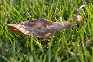 Old leaf on fresh grass. Safa Park, Dubai (April 2011)