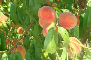 Greek peaches. Yummy!