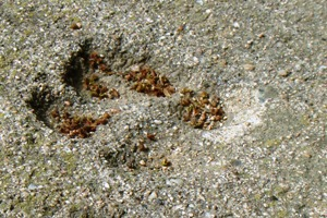 Paw print in Catalan concrete (April 2011)
